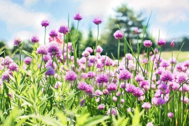 chives-798538_960_720